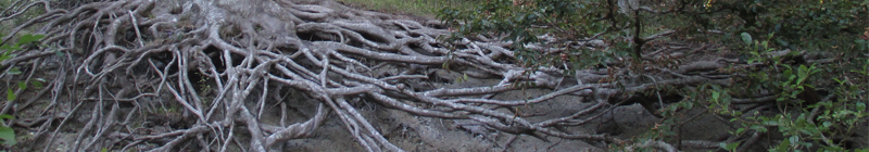 Tree roots in Klinteskoven, Møn, 2014